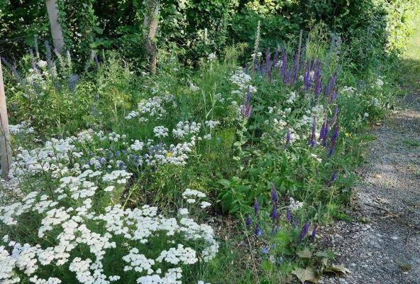 Wildblumensaum Eichendorf im Juni 2019. Weiße Staubige Margeriten und violetter Steppensalbei im Farbspiel