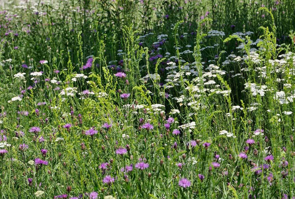 Die Artenreicherung in Moosthennung hat geklappt. Rosa Wiesenflockenblumen und weiße Schafgarbe statt nur grünem Gras