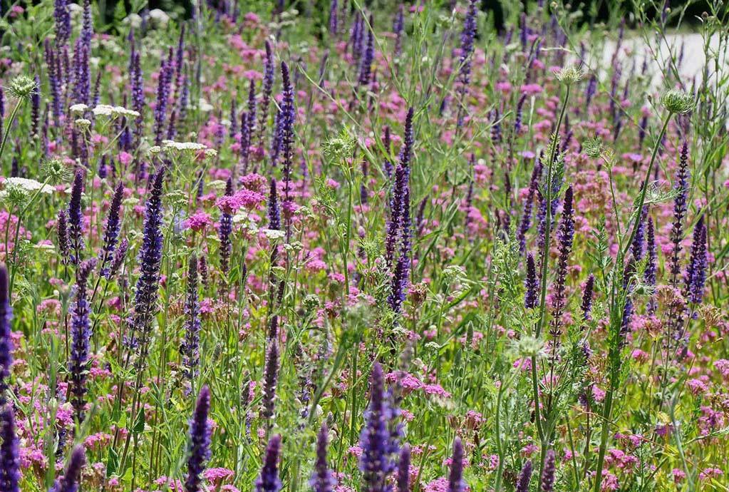 Verkehrsinsel Moosthenning im Juni 2019. Gepflanzer blauvioletter Steppensalbei in einem rosa Meer von gesätem Nelkenleimkraut
