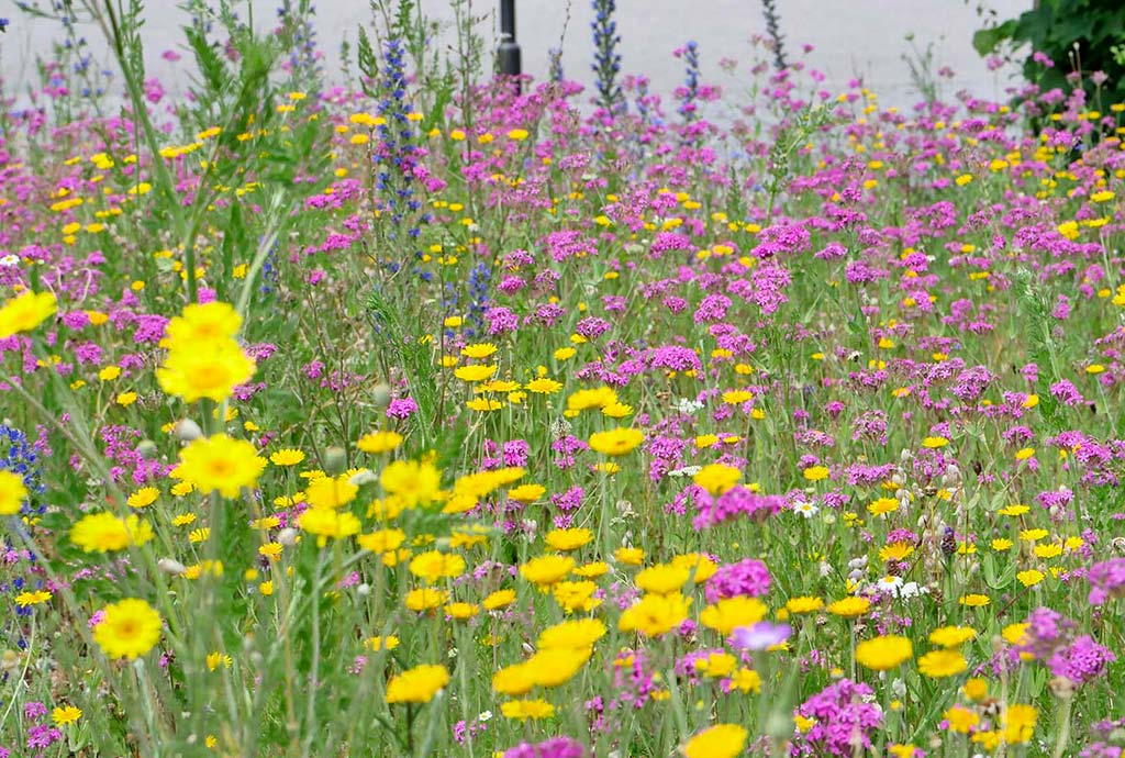 im Juni 2019 ist die Magerwiese Loiching ein Traum: Gelbe Fäberkamille inmitten von rosa Nelkenleimkraut
