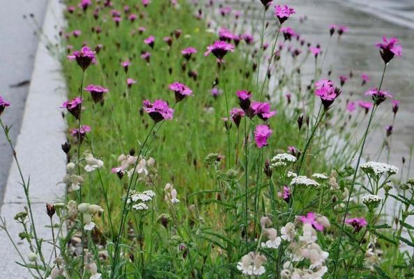 Randstreifen Wallersdorf im Juni 2020. Detail mit dicht blühender rosa Karthäusernelke , dazwischen weißes Taubenkropf-Leimkraut und Schafgarbe