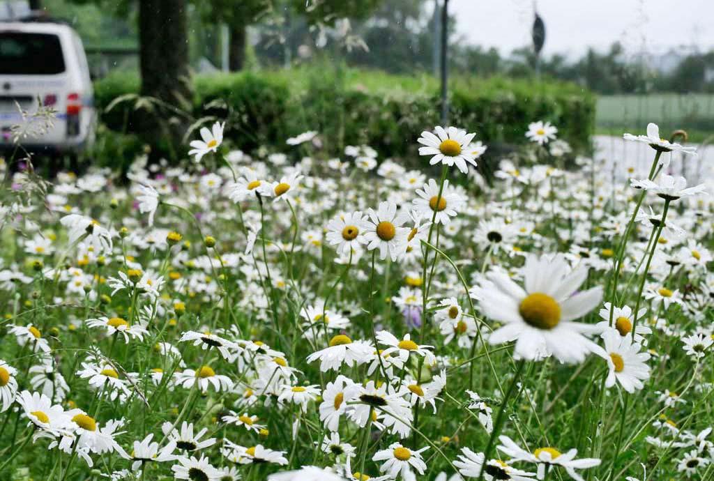 Die Blumenwiese Loiching steht im Juni 2020 voller weißer Margeriten