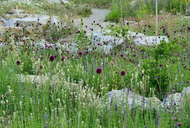 Im Juni 2018 sieht man die purpurnen Kugeln vom Kopflauch über Blütenwellen von Kriechendem Leinkaut, das in hellgelb blüht