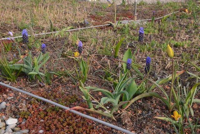 Wildtulpen und Traubenhyazinten blühen. Zu unserem Konzept des Biodiversitätsdaches gehören auch Wildblumenzwiebeln