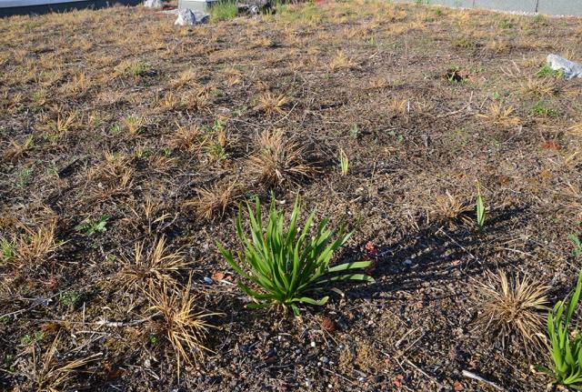 Im Frühjahr des dritten Jahres lässt eine lange Dürre fast alle höheren Pflanzen vertrocknen. Das ist für unser Konzept des nicht künstlich beregneten Biodiversitätsdaches und unsere Mischung aber kein Problem
