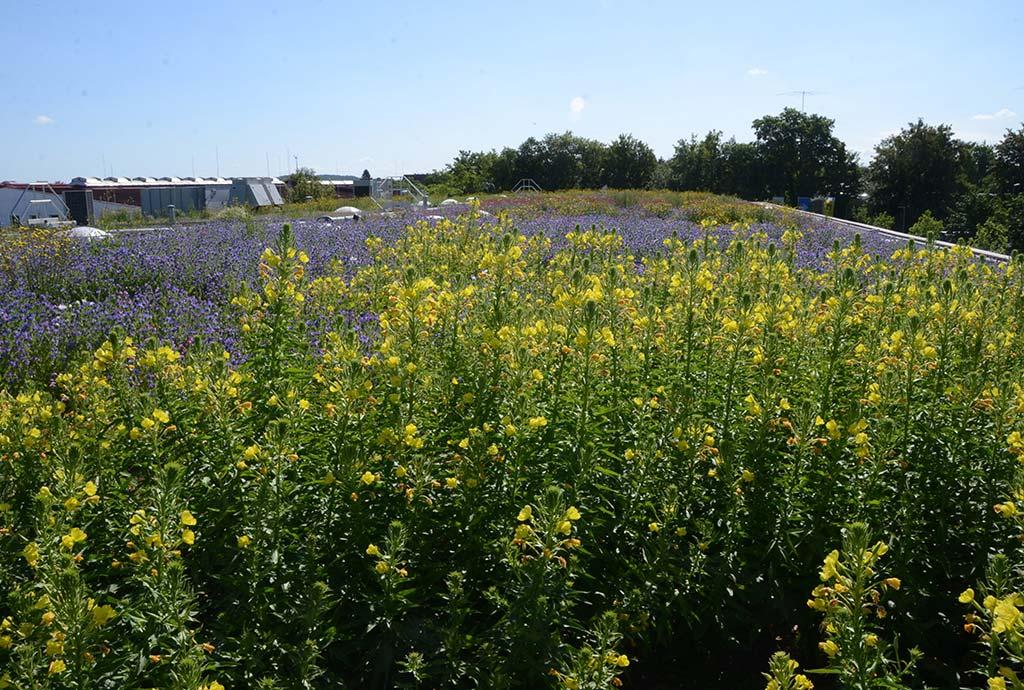 Im Vordergrund blühen Nachtkerzen. Auf insgesamt 15 zwischen 165 und 305 Quadratmeter großen Versuchsflächen testen wir spezielle Wildblumenansaaten für den Klimawandel