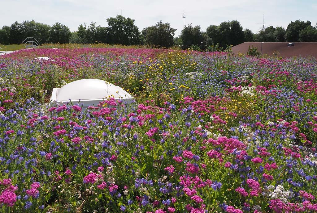 Rosa-blau-weiß-gelb blühendes Dach. Das ist zumindest für den Anfang unsere schönste Biodiversitätsdachmischung. So kann es nach drei Monaten im ersten Jahr aussehen