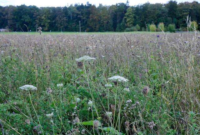 Es blüht nur noch wenig, im Vordergrund eine Wilde Möhre. Bild vom Herbst der ersten Blütensaison. Es darf wieder gemäht werden
