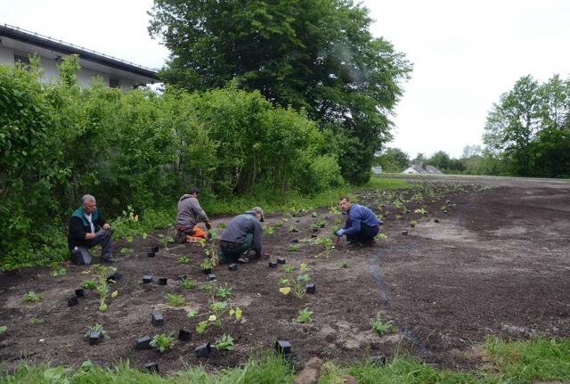 Neuanlageflächen werden bepflanzt. Hier die Initialstauden eines Saumes