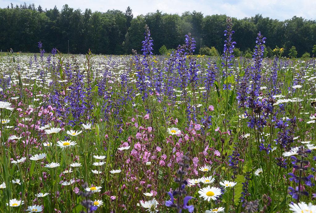 Weiter Blick über blühende Wiese. Rosa Lichtnelken, violetter Wiesensalbei und tausende weiße Margeriten. Jahr zwei der oberen Eierweise. Allmählich entstehen die Bilder, die wir im Kopf hatten