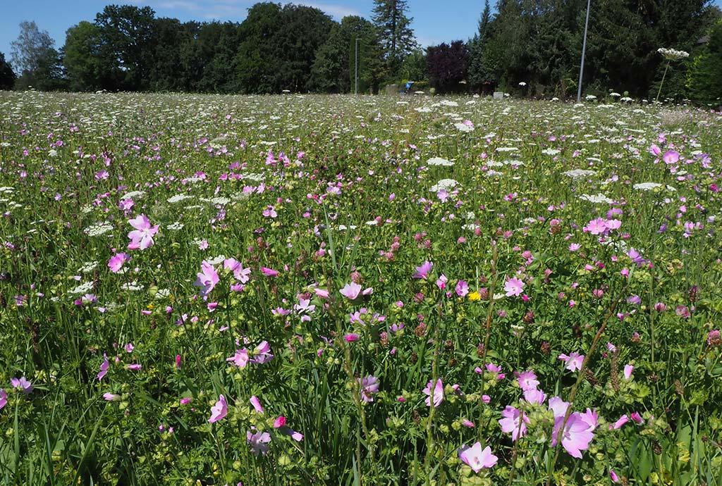 Wir kamen gerade noch rechtzeitig. Der Schröpfschnitt hat geholfen. Die erste Wildblumenblüte der neuen Wiese mit fast nur rosa Moschusmalven