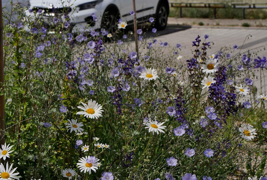 Wunderbares Detail mit Blüten von Wiesenmargeriten, Blauem Lein und Ackerrittersporn.