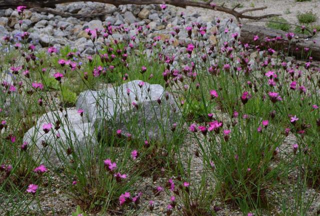 Detailansicht Karthäusernelken im Kiessand, dahinter einzelne Findlinge, Schotterflächen und liegende Baumstämme. Es ergeben sich wunderbare Bilder von Pflanzen zwischen Steinen und Totholz.