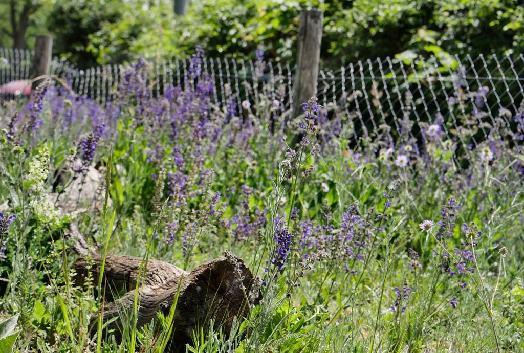 Wunderschöne Blumenaspekte ergeben sich. Am Rand blüht blauvioletter Wiesensalbei.