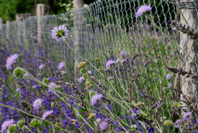 Blütenstengel lila blühender Wiesen-Witwenblumen ragen durch den Zaun, der gegen hungrige und stark wühlende Kaninchen errichtet wurde