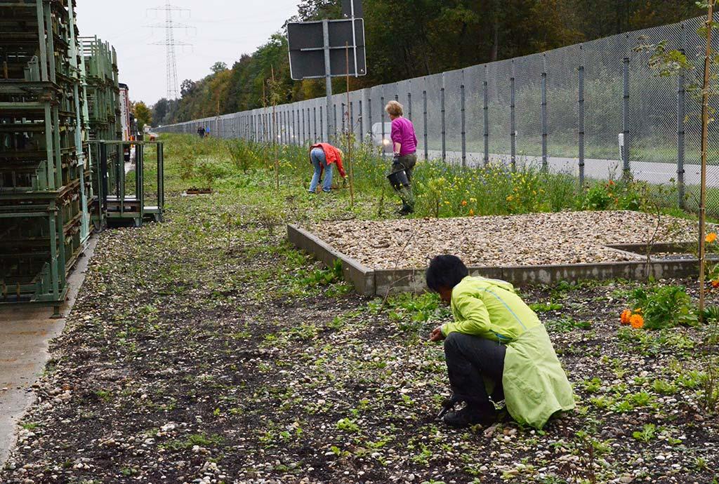 Zwischen Keimlingen wird gejätet. Erster Pflegeeinsatz mit der Gartengruppe von Daimler und Naturgarten-Profis