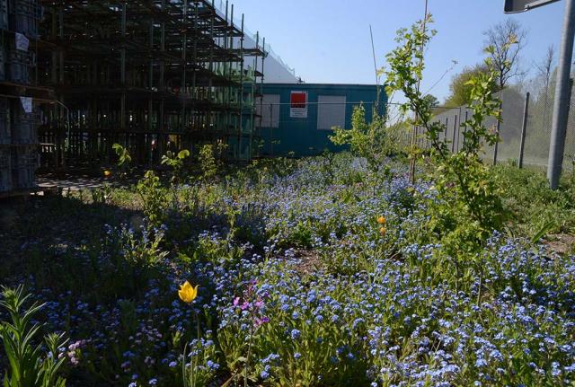 Ein Jahr später beginnen wir den Lohn der Arbeit zu ernten. Hellgelbe Wildtulpen und blaues Waldvergißmeinicht blühen