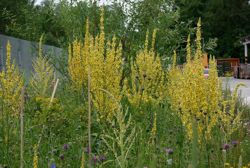 Detailansicht. In späteren Jahren sieht es anders aus. Gehölze wie die Lavendelweide wachsen, aber es gibt immer noch gelbe Prächtige Königskerzen und viele andere Blumen mehr