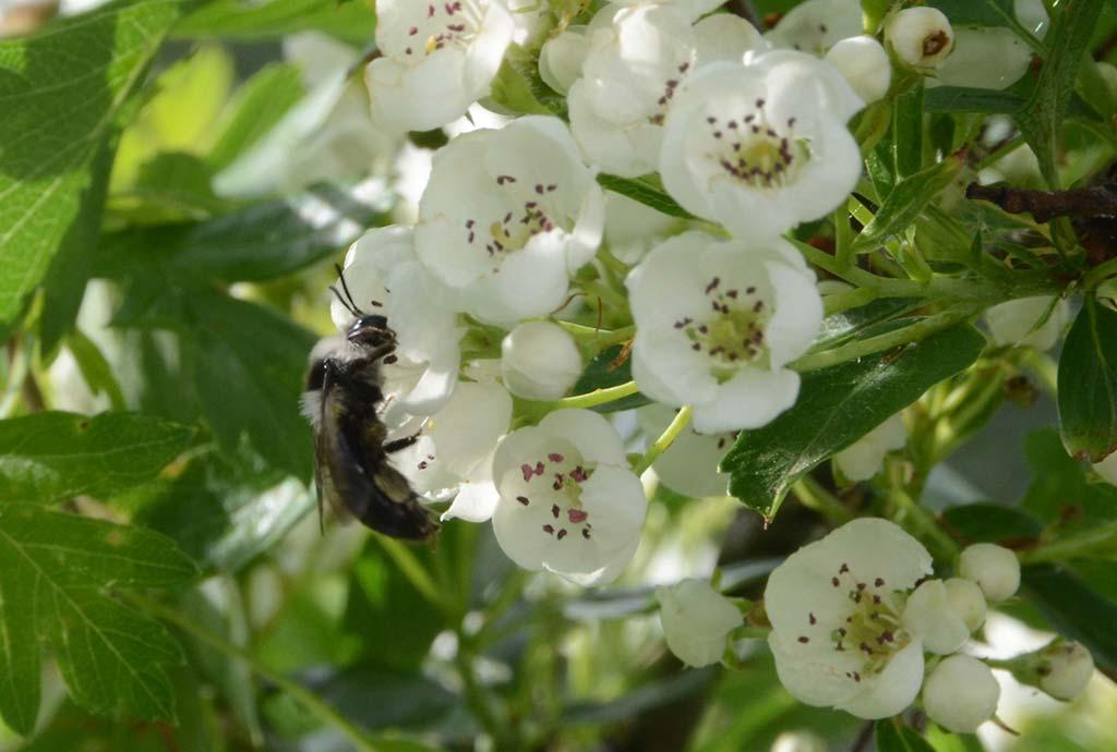 Haben wir vergessen zu sagen, dass bei Natur & Wirtschaft auch Biodiversität produziert wird. Eine graue Sandbiene an Weißdornblüten
