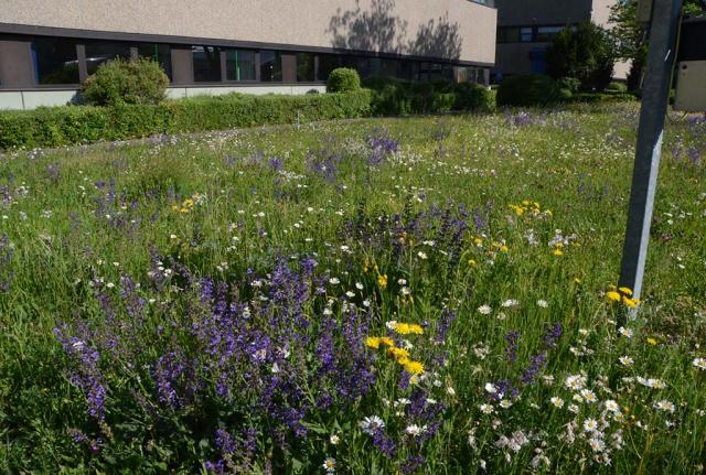 Noch mal, weils so schön ist: Violettblauer Wiesen-Salbei satt, und dass nun jedes Jahr und zunehmend mehr.
