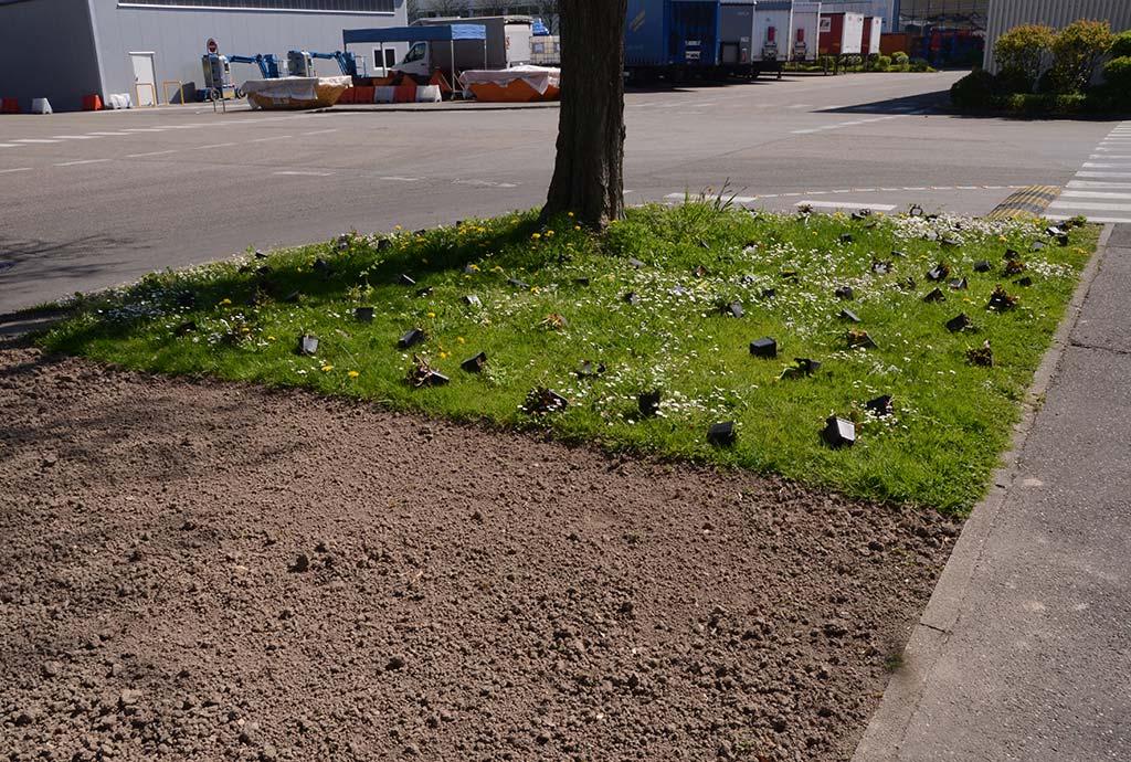 Unter dem großen Robinie liegen duitzende Wildstauden im Gras, die Fläche davon ist blank gefräst, der Rasen ist weg. Auslegen der Wildstauden für die Artenanreicherung, davor eine Burrifläche