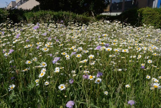 Eine Stück knallvoll mit Margeriten, dazwischen einige Wiesen-Witwenblumen. So sieht die Fläche mit der Burrimethode und Einzelarten-Ansaaten Jahre später aus