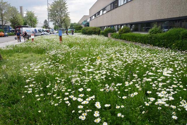 Not to bad, die große Rasenfläche blüht schon im nächsten Jahr traumhaft. Zunächst hauptsächlich mit Mageriten