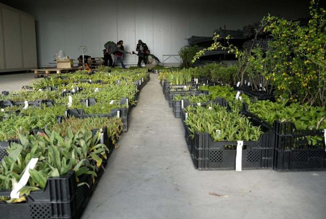Halle mit Reihen von Pflanzenkisten. Ein großes Projekt bringt große Artenvielfalt und tausende von Wildstauden