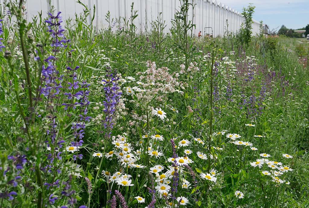 Wildblumenwiesen sind einfach schön