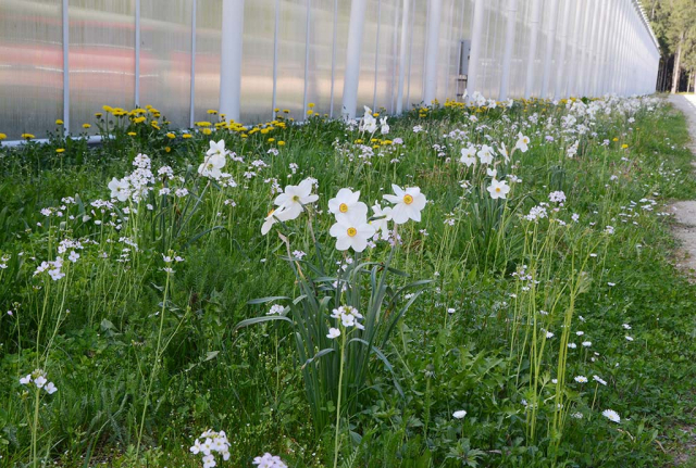 Weiße Dichernarzissen blühen zwischem weißen Wiesenschaumkraut. Die mit viel Mühe im Boden versenkten Zwiebeln tauchen wieder auf