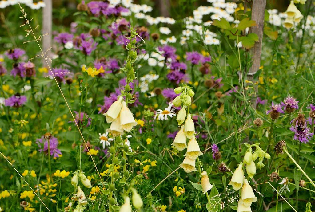 Saumansichten. Kombiansaat Perücken-Flockenblume mit Großem Gelben Fingerhut