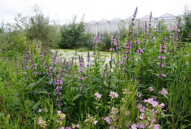 Feuchter Fleck mit Sumpfziest und Rosenmalve, beide rosa blühend am Teichufer.
