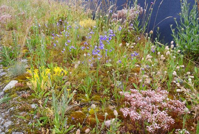 Weißer und gelber Mauerpffer unf hellblaue Glockenblumen. Magere, trockene Wegränder, besät mit Wildblumen, beschenkt mit Schönheit