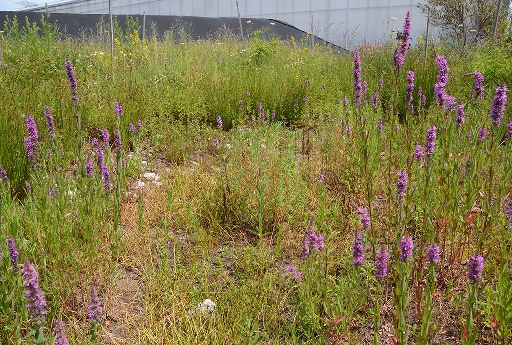 Klimawandel und seine Folgen. Die Teiche trocknen immer öfters aus. Das macht den Sumpfpflanzen aber nichts. Blutweiderich blühe violett