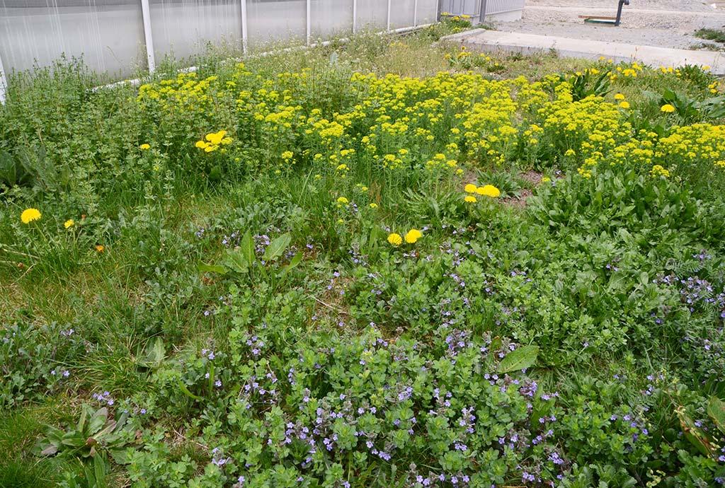 Die Kraft der Zeit, der Blumenrasen Jahre später mit hellgelber Zypressenwolfsmilch und hellblauerEfeu-Gundelrebe