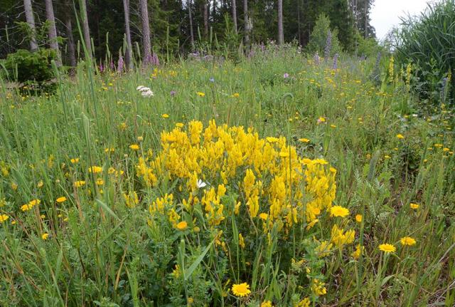 In den Säumen verbreitet sich gelber Färberginster durch Selbstaussaat