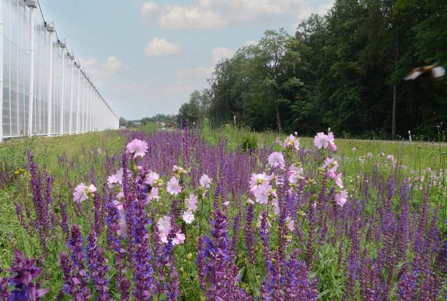 Magere Blumenwiese mit viel violettem Steppensalbei und rosa Rosenmalven in späterer Zeit: Haben Sie noch Fragen?