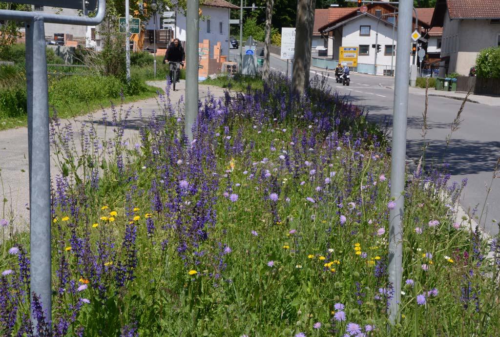 Der Streifen am Klostersee blüht jedes Jahr wunderbar und bald zehn Jahre lang. Hier ein Meer von Wiesen-Witwenblumen und Wiesen-Salbei