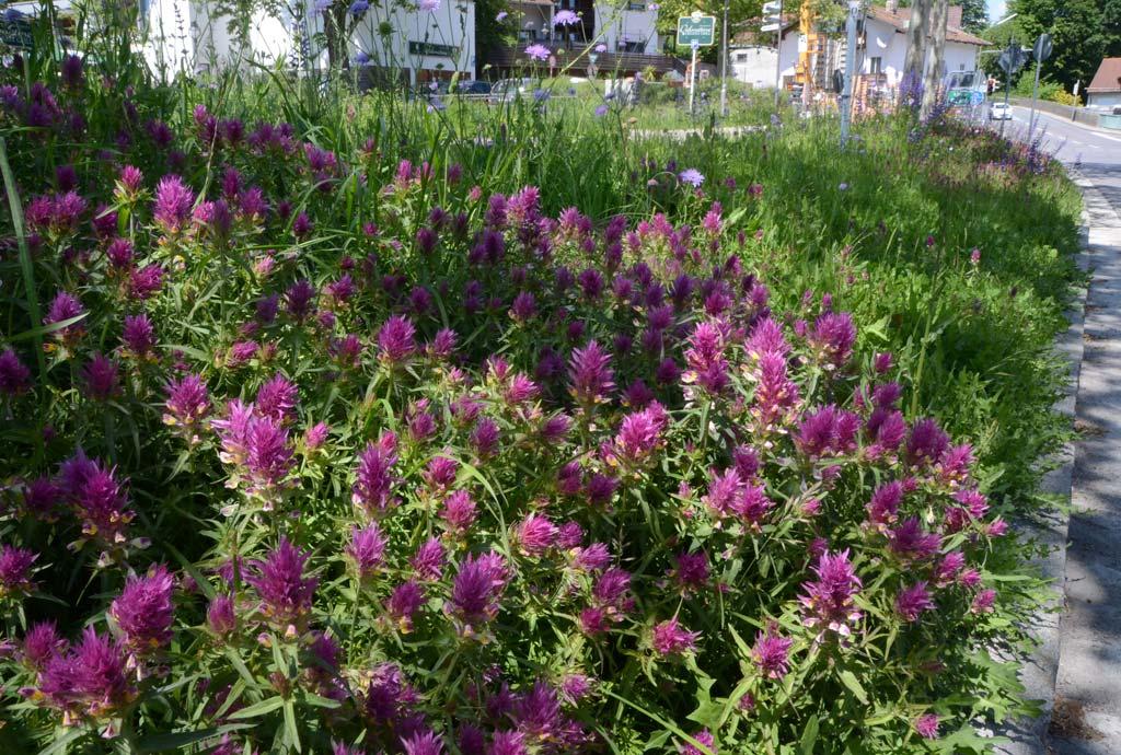 Detail vom Klosterseestreifen: Dichter Bestand vom Ackerwachtelweizen in schönster Blüte. So etwas gelingt nur durch Einsaaten.
