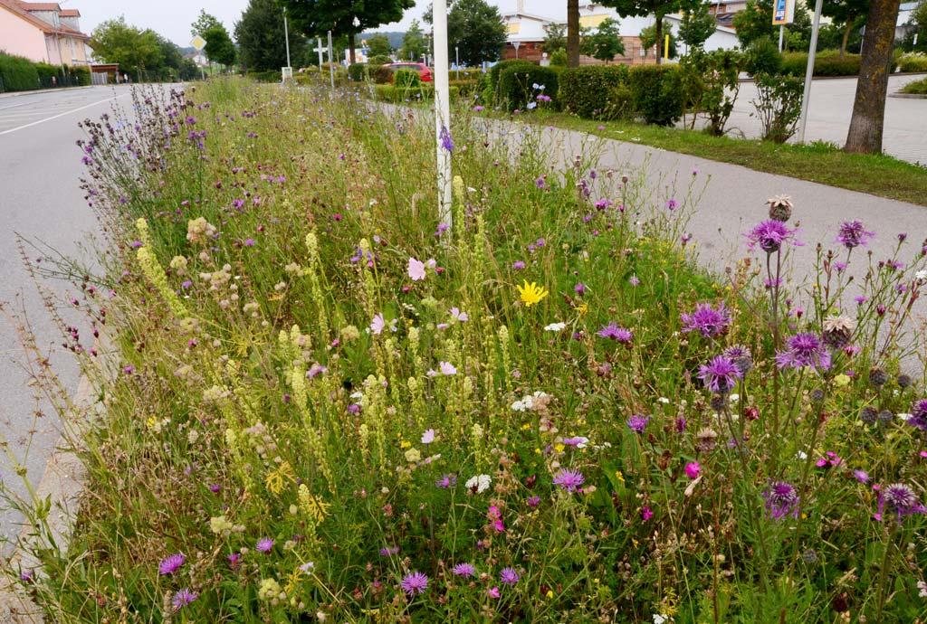 Unglaublich schöne Wildblumenbilder neben dem Gehweg. Skabiosen-Flockenblumen, Gelbe Resede, Karthäusernelken