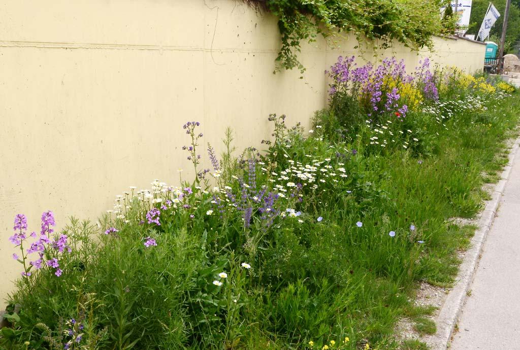 Wildblumensaum an der Münchner Strasse zwischen Gehweg und Gartenmauer im Mai. Es blühen Nachtviole, Färberwaid und Margeriten