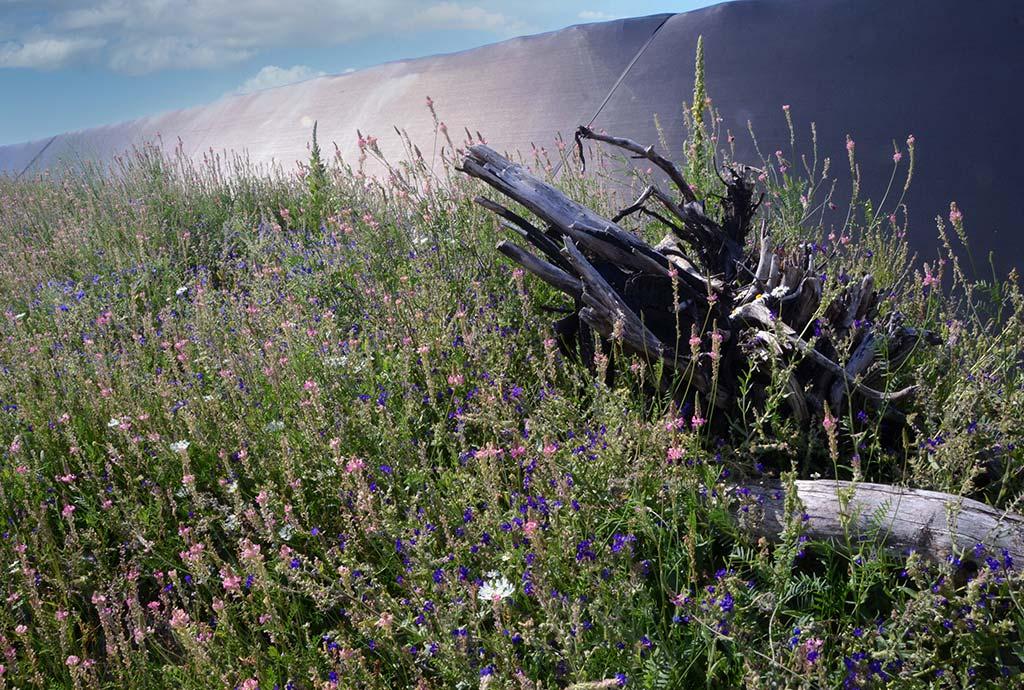 Zauberpflanzen, das Wunder heimischer Ansaaten mit violetter Ochsenzunge und rosa Esparsette ein Jahr später