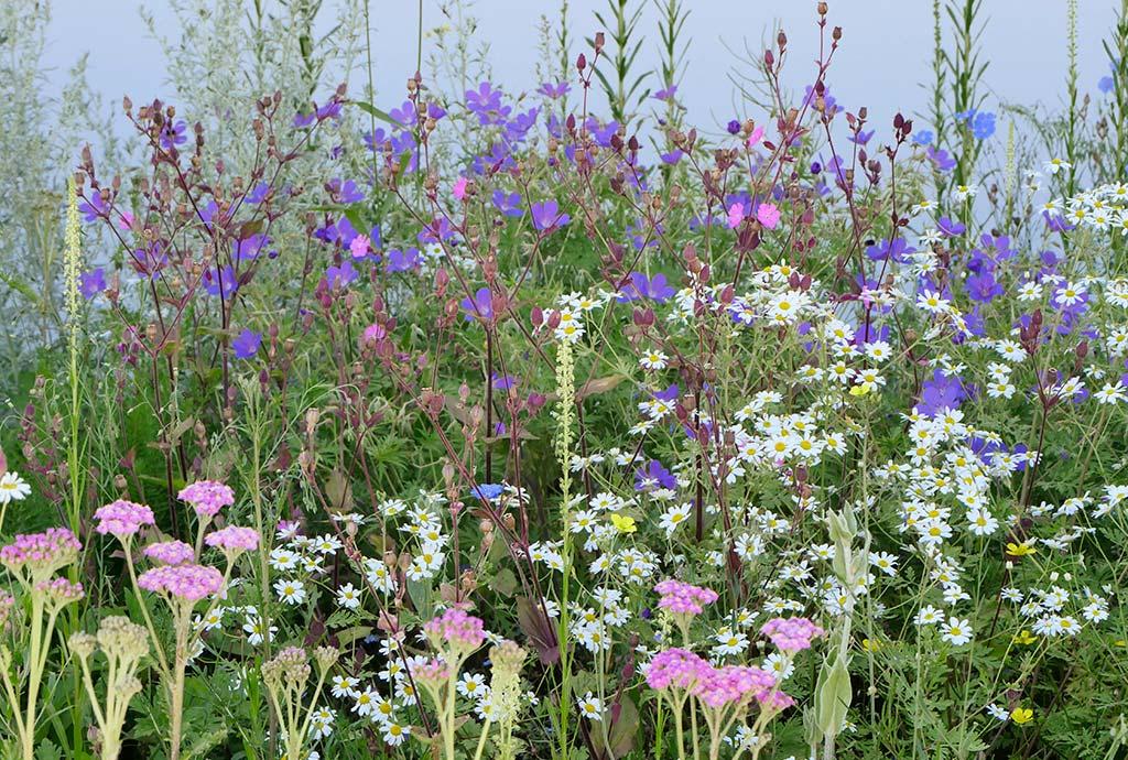 Weiß-blau-rosa, es blüht schön. Details unseres Wildpflanzenanreicherungskonzeptes. Die unter solchen Standortbedingungen nicht lebensfähige Exotenbepflanzung wird nach und nach ersetzt durch heimische Arten