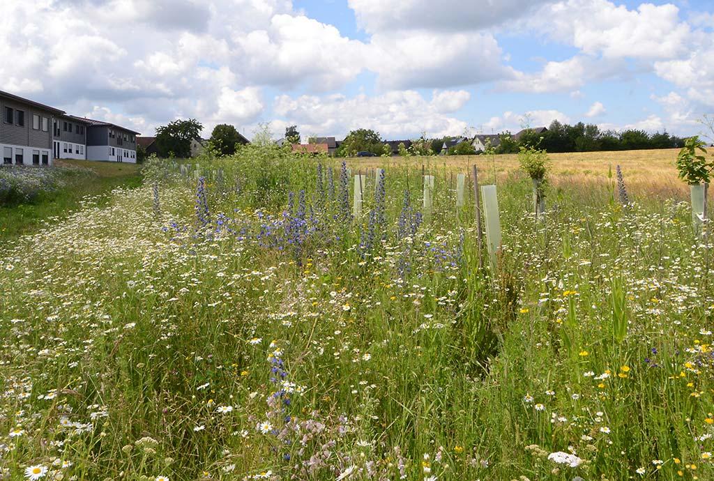 Unsere Ansaaten der jetzt bunt blühenden Blumenwiesen und Heckenbereiche machen sich und werden langsam schöner. Die Gehölze brauchen noch