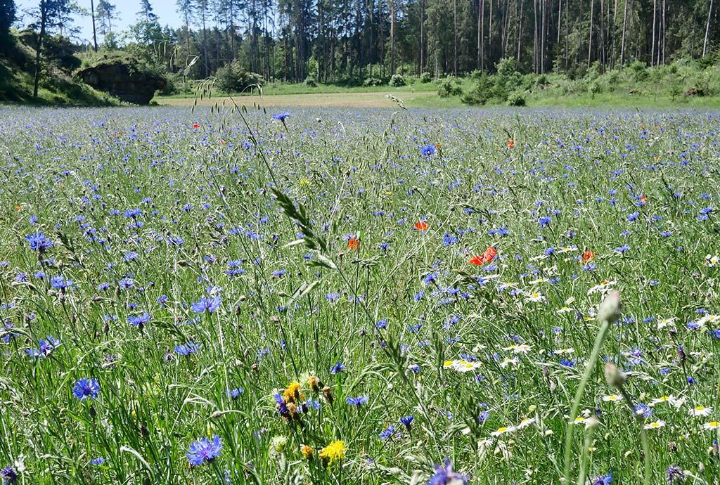 An anderer Stelle haben wir große Magerwiesen eingesät. Das ist das Bild von der ersten Saison, ein Kornblumenmeer