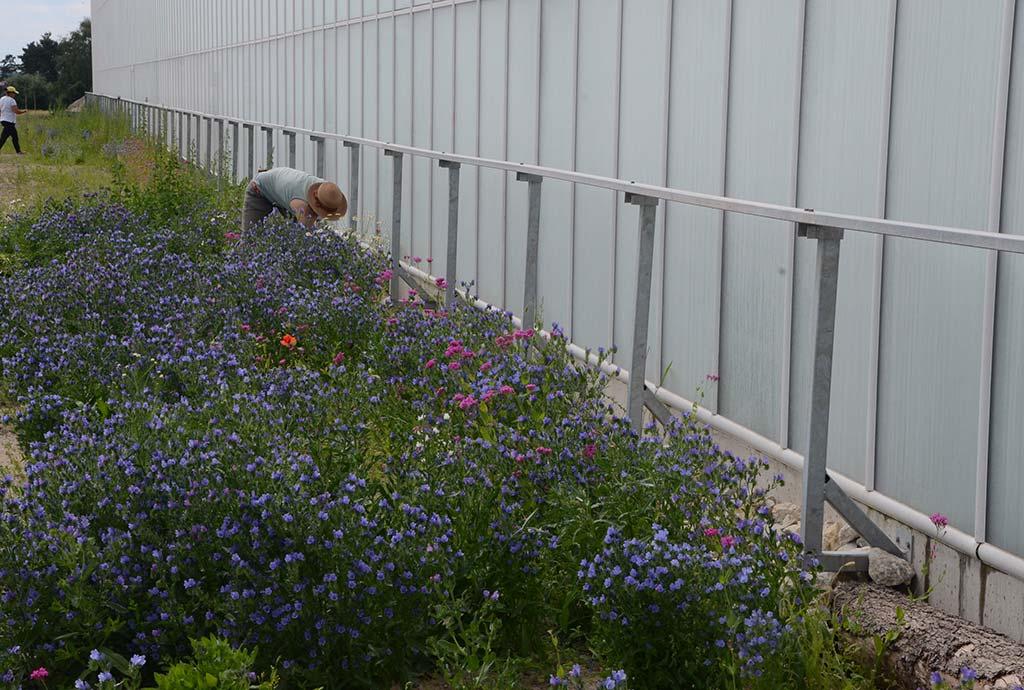 Blau blühende Blumenwiese verdeckt die Steine fast. Und so sieht der 150 m lange Ministeinriegel mit Holzfragmenten ein Jahr später aus