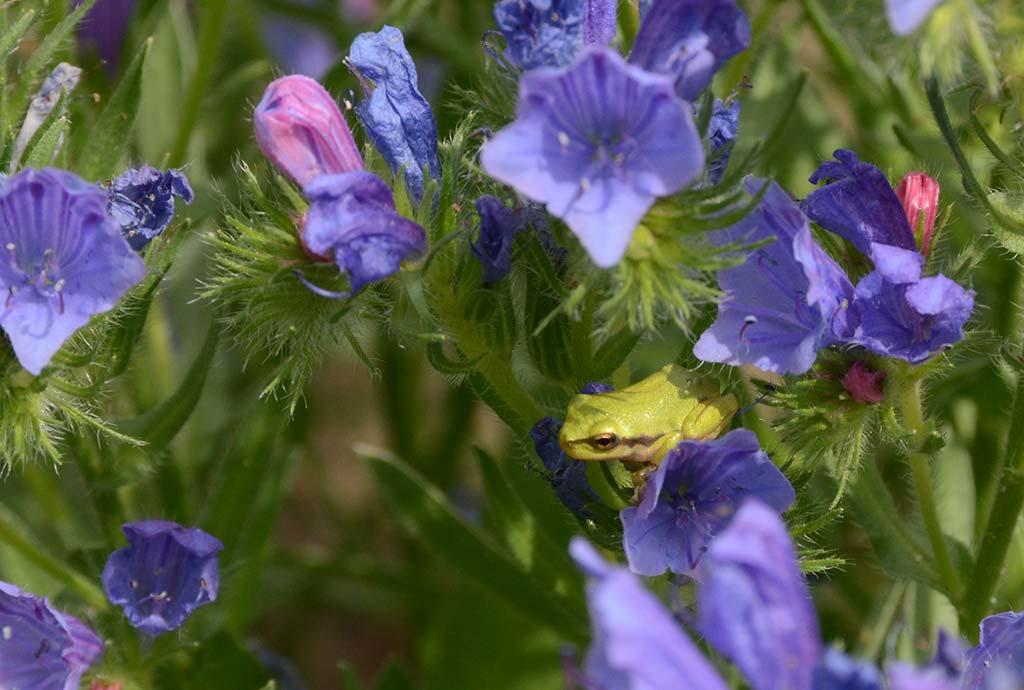 Mini-Laubfrosch zwischen blauen Blüten. Im Schutz der Ansaaten kann der Laubfrosch-Nachwuchs Beute finden und sich verstecken