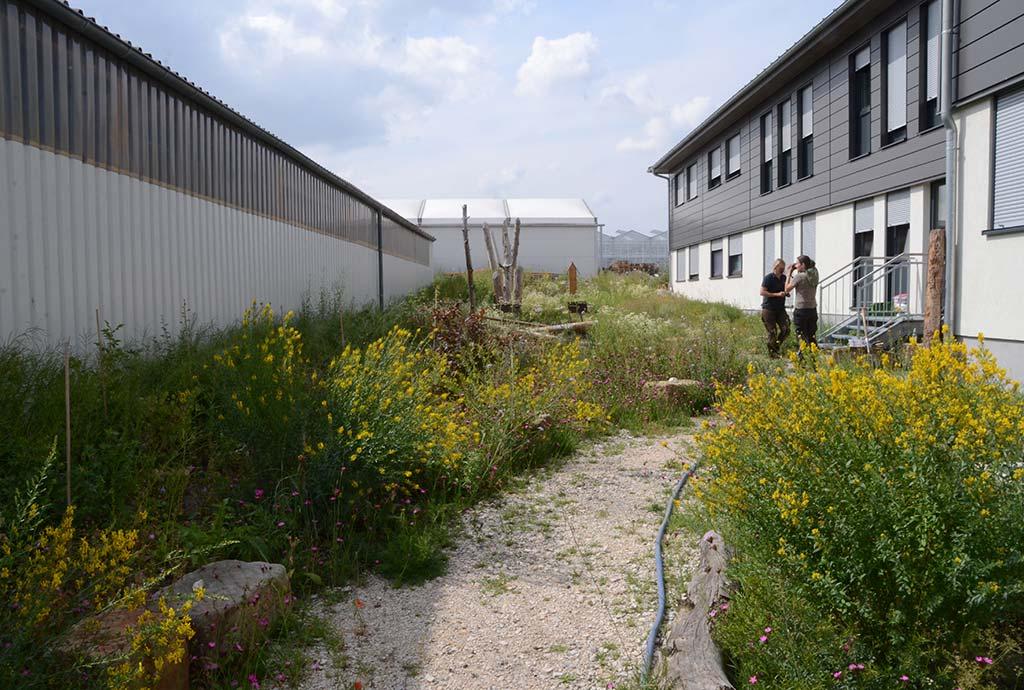 Viel gelber Färberginster blüht,im Vordergrund. Ein Jahr später ist der Naturgarten bunt und vielfältig. Vor dem Pflegeeinsatz müssen alle Profi-Praktikanten erst mal Fotos schießen