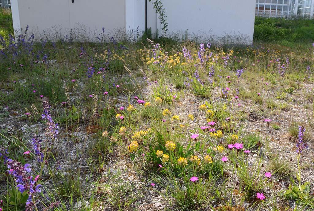 Standortvielfalt erzeugt Artenvielfalt. Hier ein bunt blühender Blumen-Schotter-Rasen auf einer Feuerwehrzufahrt