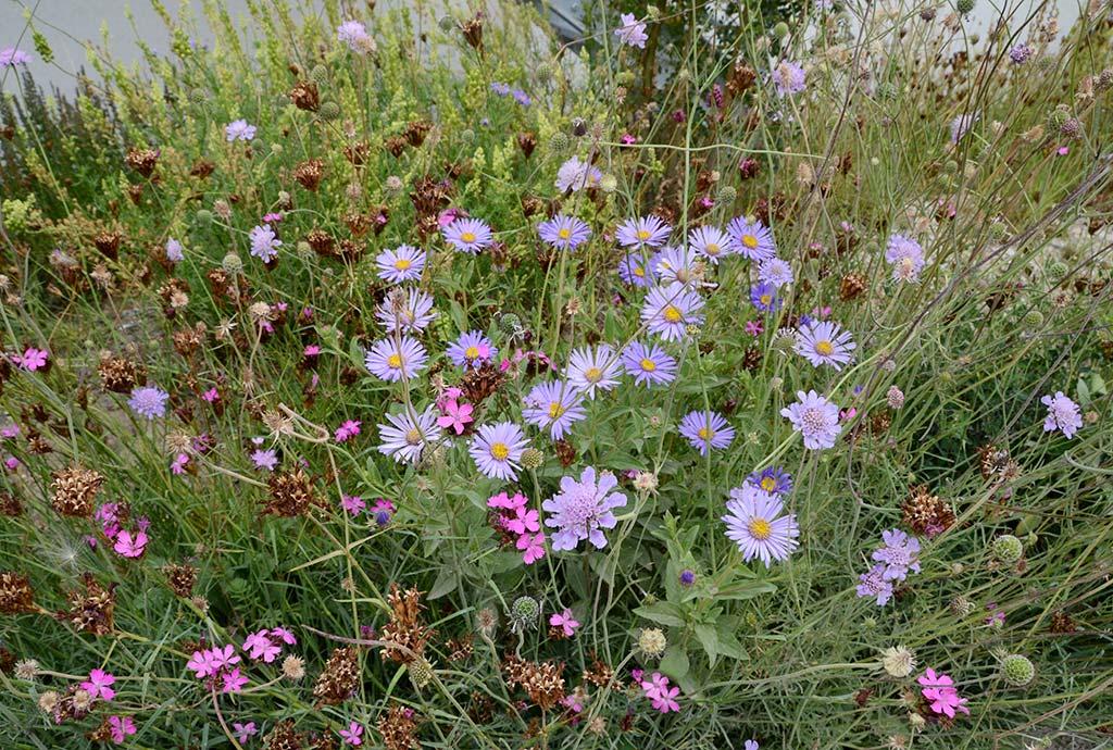 Vielfalt an jeder Stelle, hier die Blüte einer hellblauen Bergaster im Wildblumenbeet